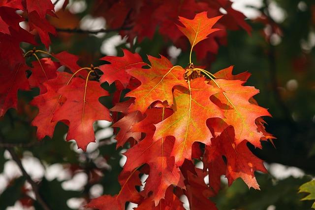 červené listí